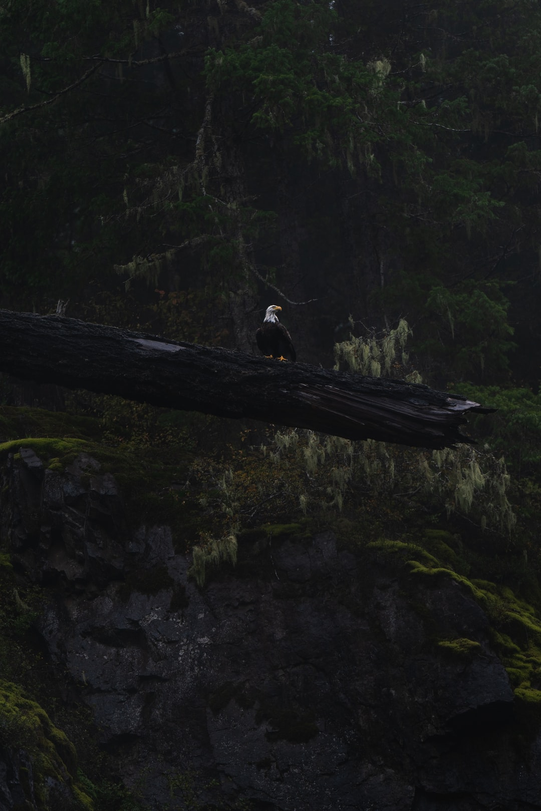 A bald eagle perched on a fallen tree