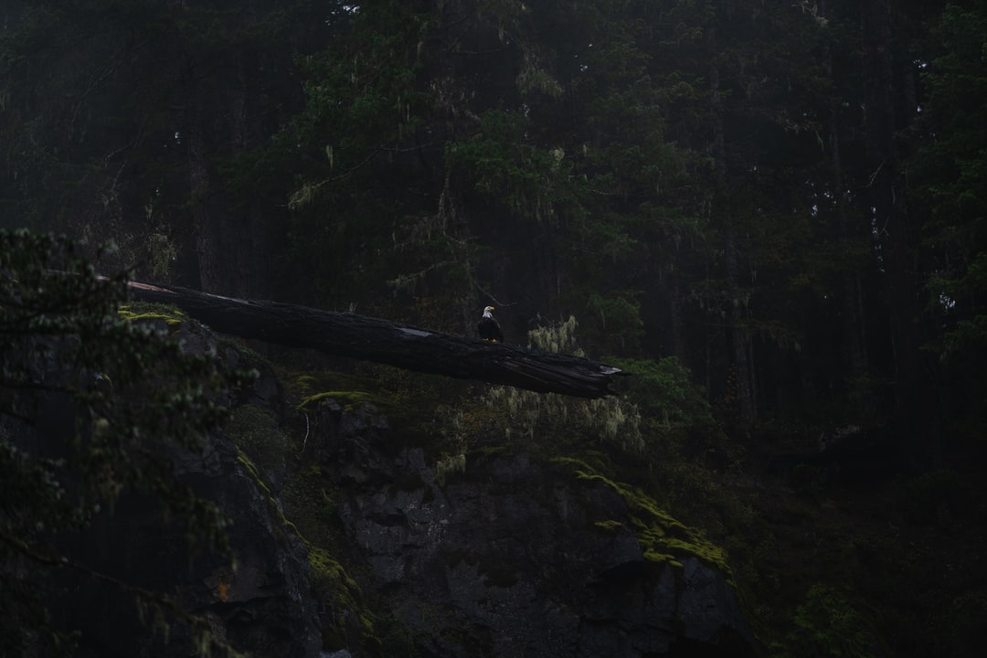 An eagle perched on a fallen tree suspended off a cliff