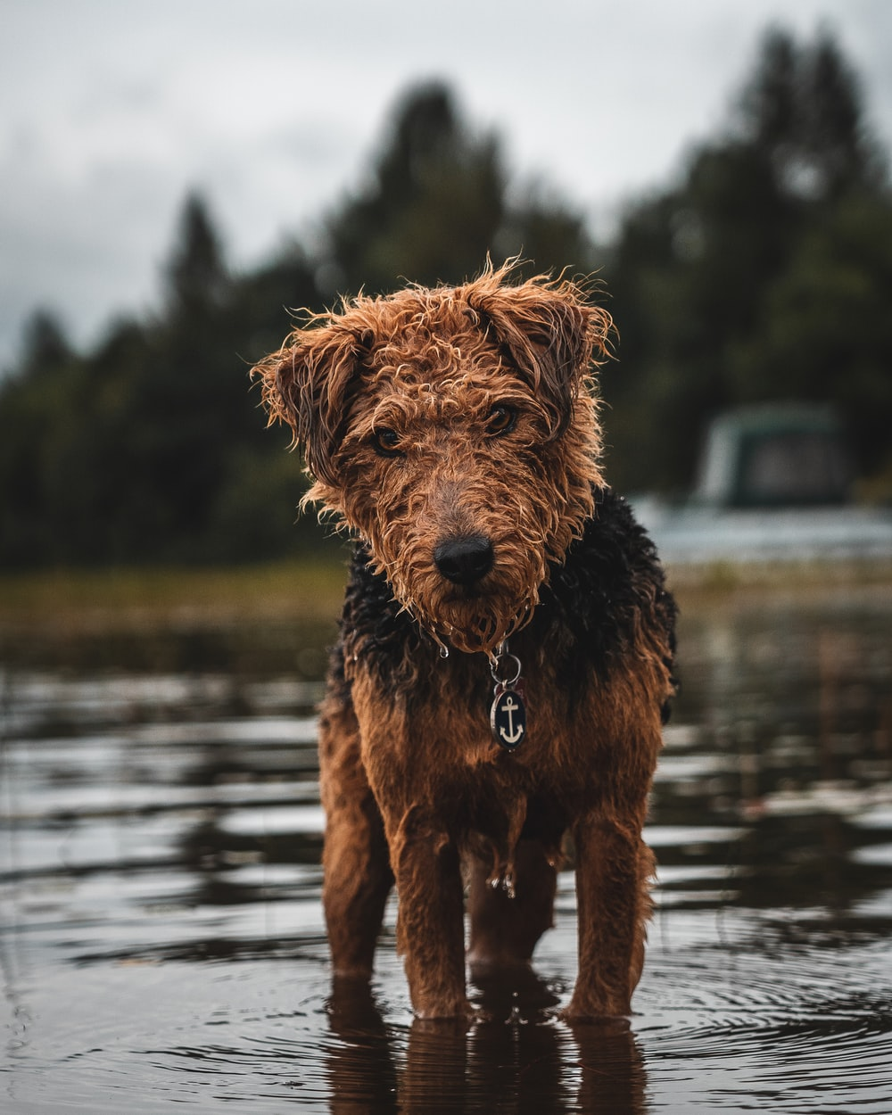 long-coated brown and black dog walking on body of water