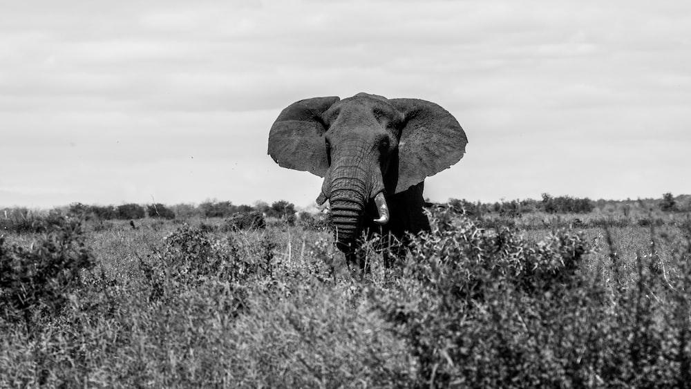 elephant on open field
