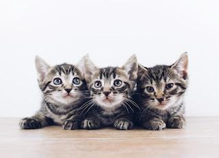 three brown tabby kitten lying on board