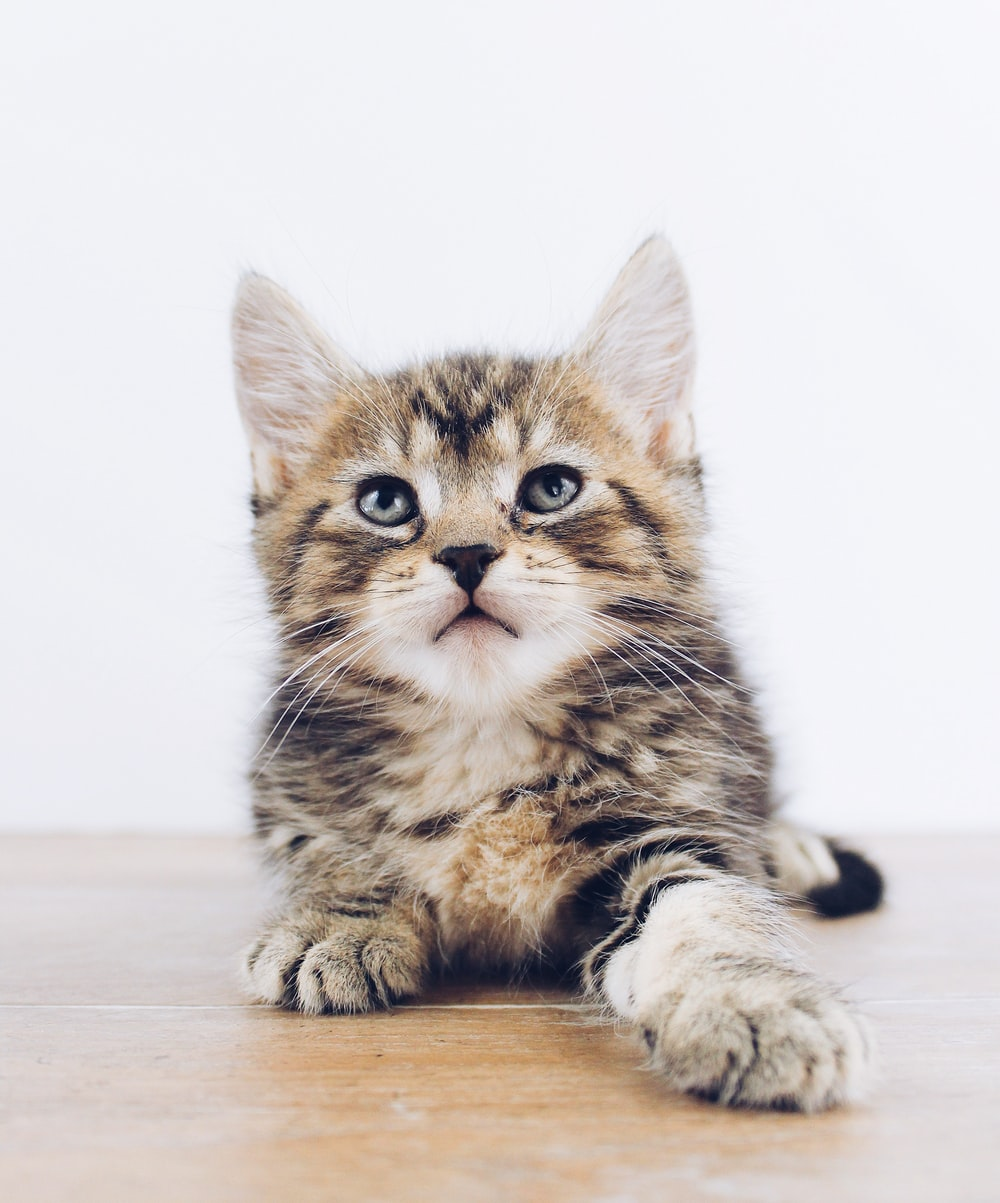 close-up photography of brown tabby kitten prone lying on board