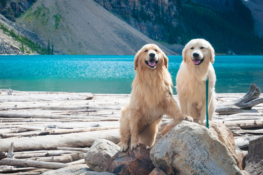 two adult golden and light golden retrievers on rock during day