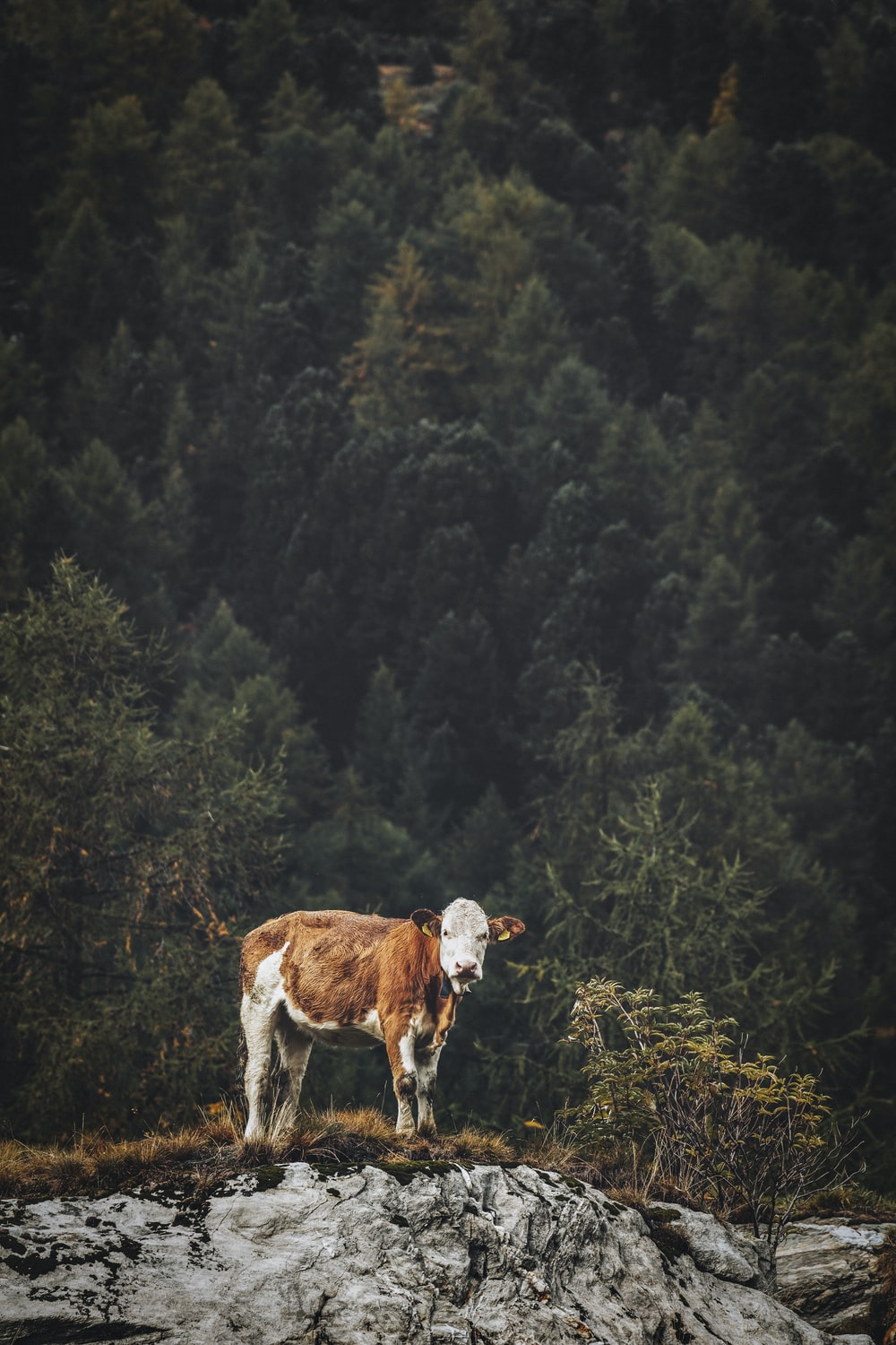 brown and white cow surrounded by trees