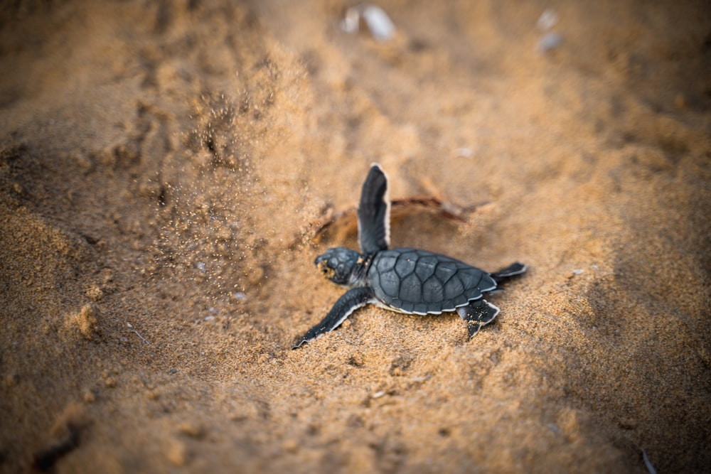 black turtle on brown sand