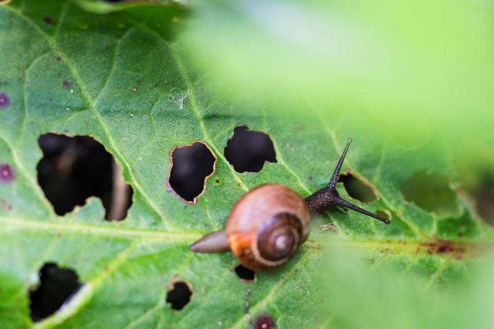 brown snail on green leaf