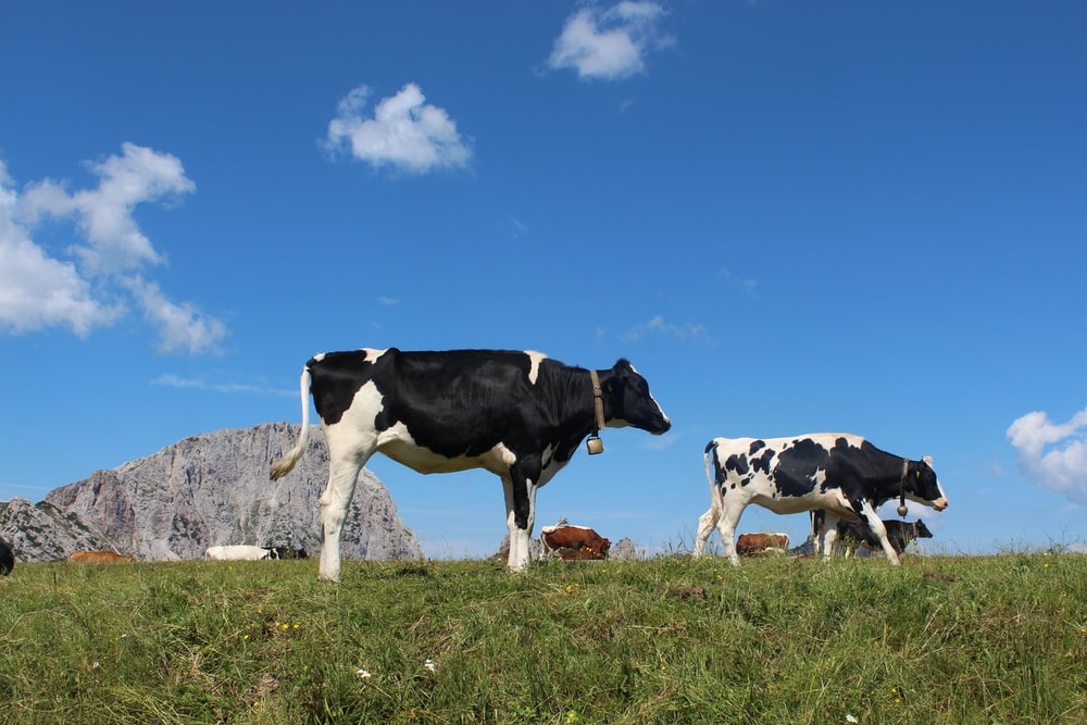 cattle in green field under blue and white skies during daytime