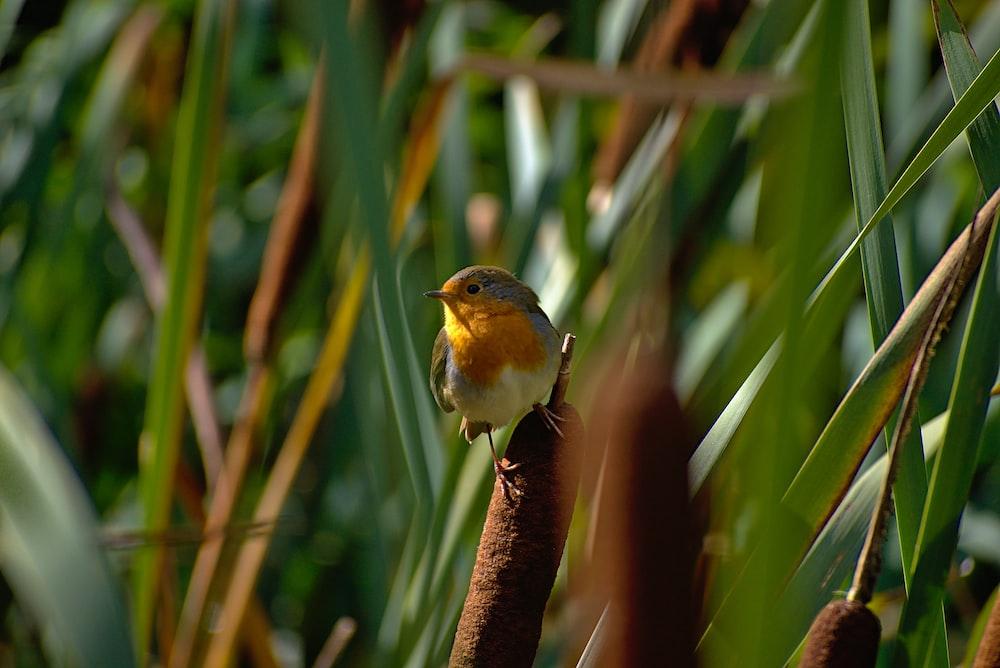 close view of European robin