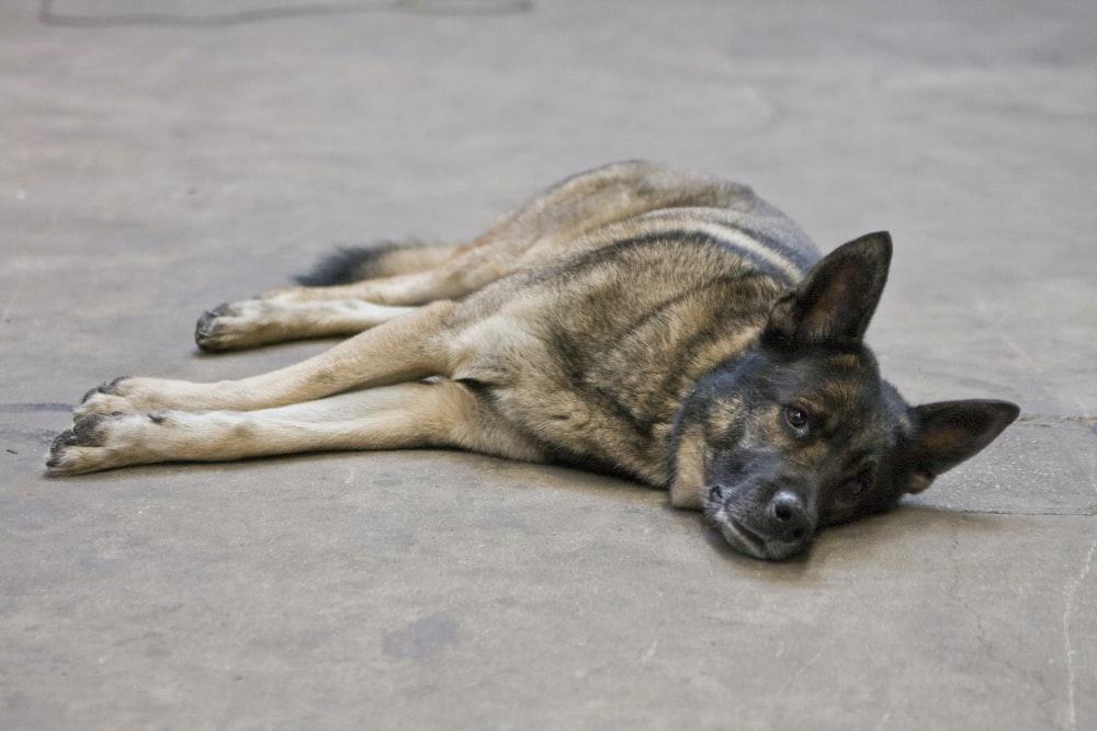 German shepherd dog lies on pavement
