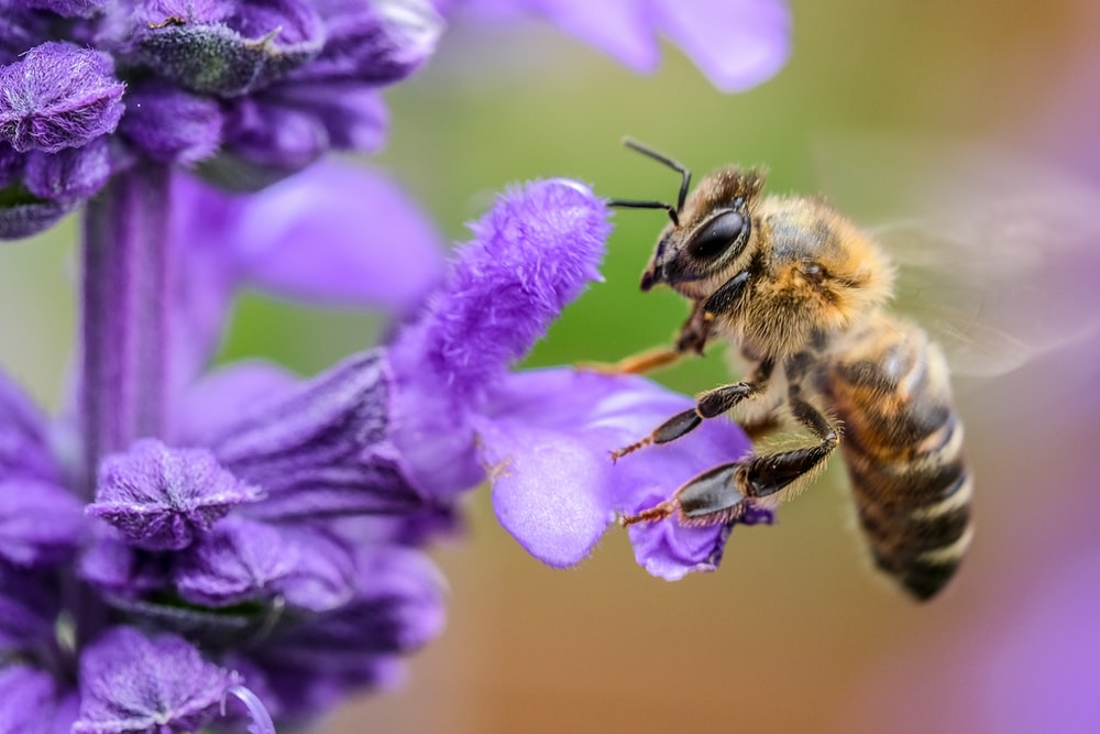 black and yellow bee on purple flower macro photography