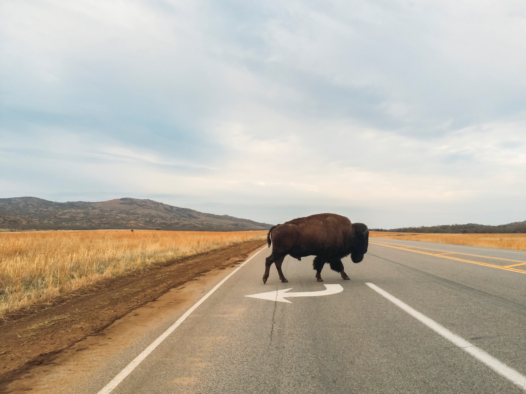 A bison crossing the road