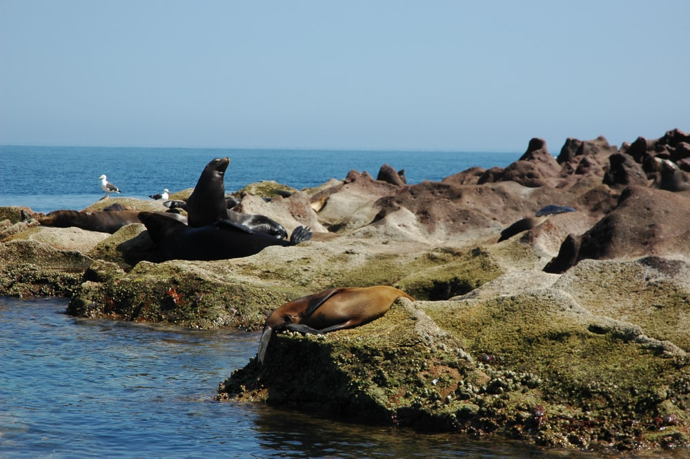 black and brown sea lions on coastalrock during daytime