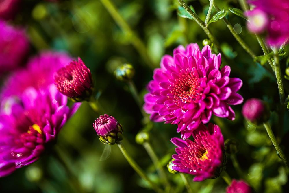 pink multi-petaled flowers
