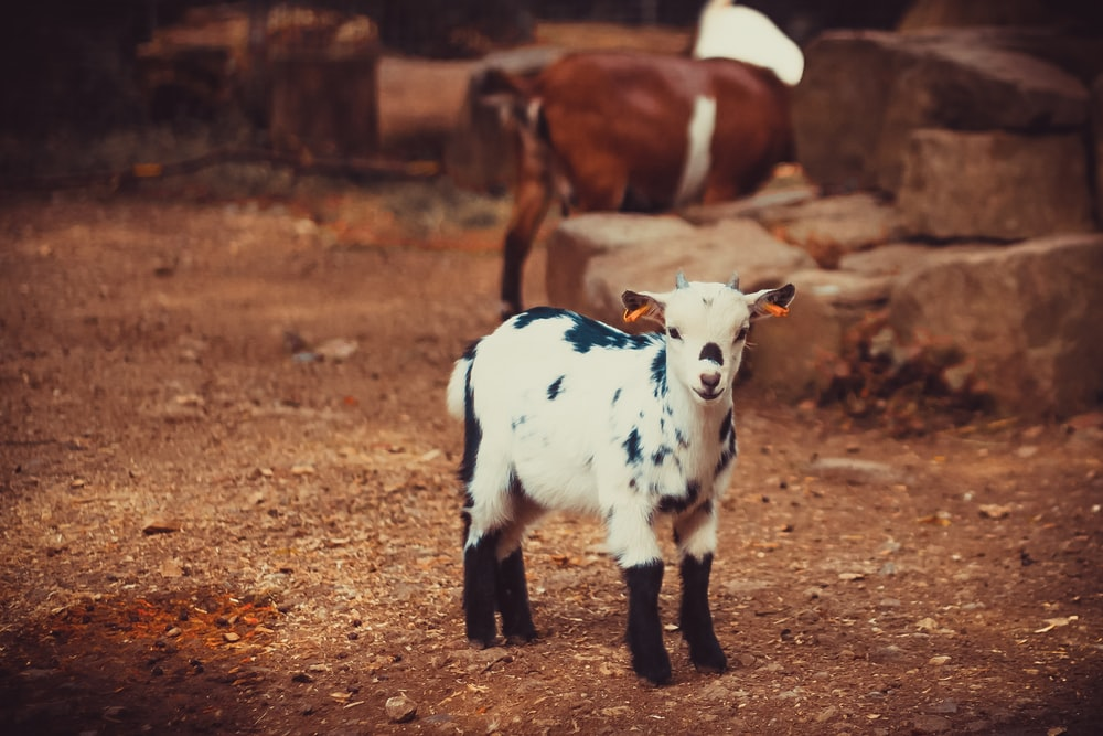 white and black goat kid