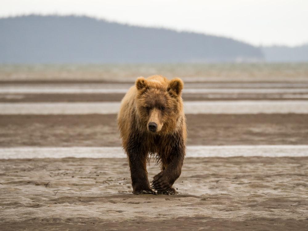 brown bear walking on soil