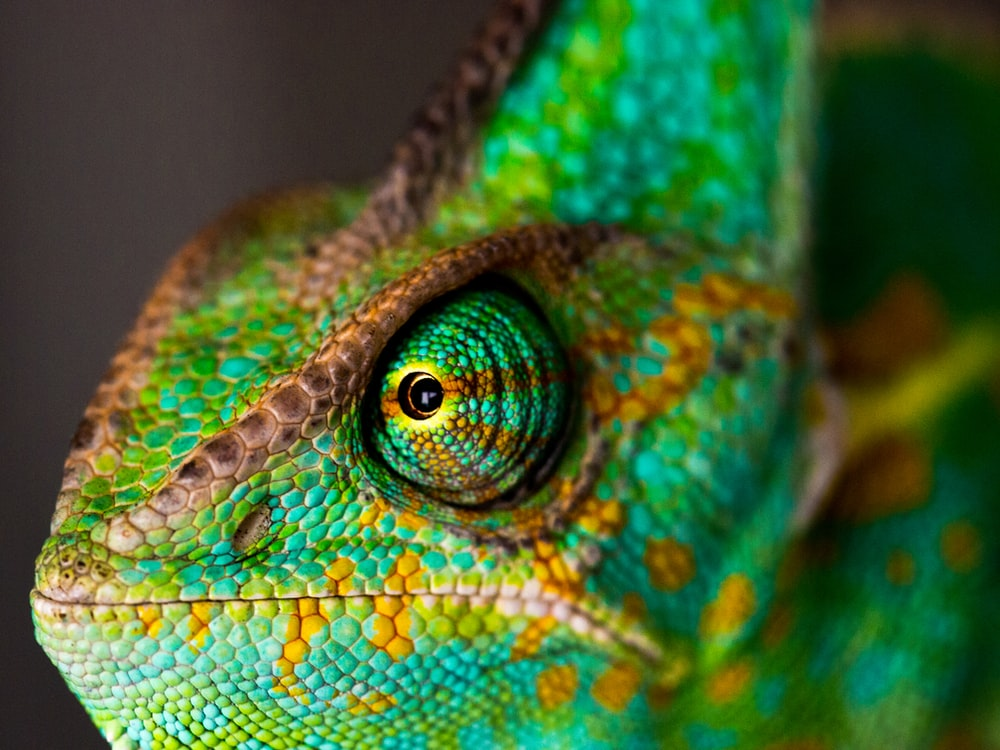 green and yellow chameleon