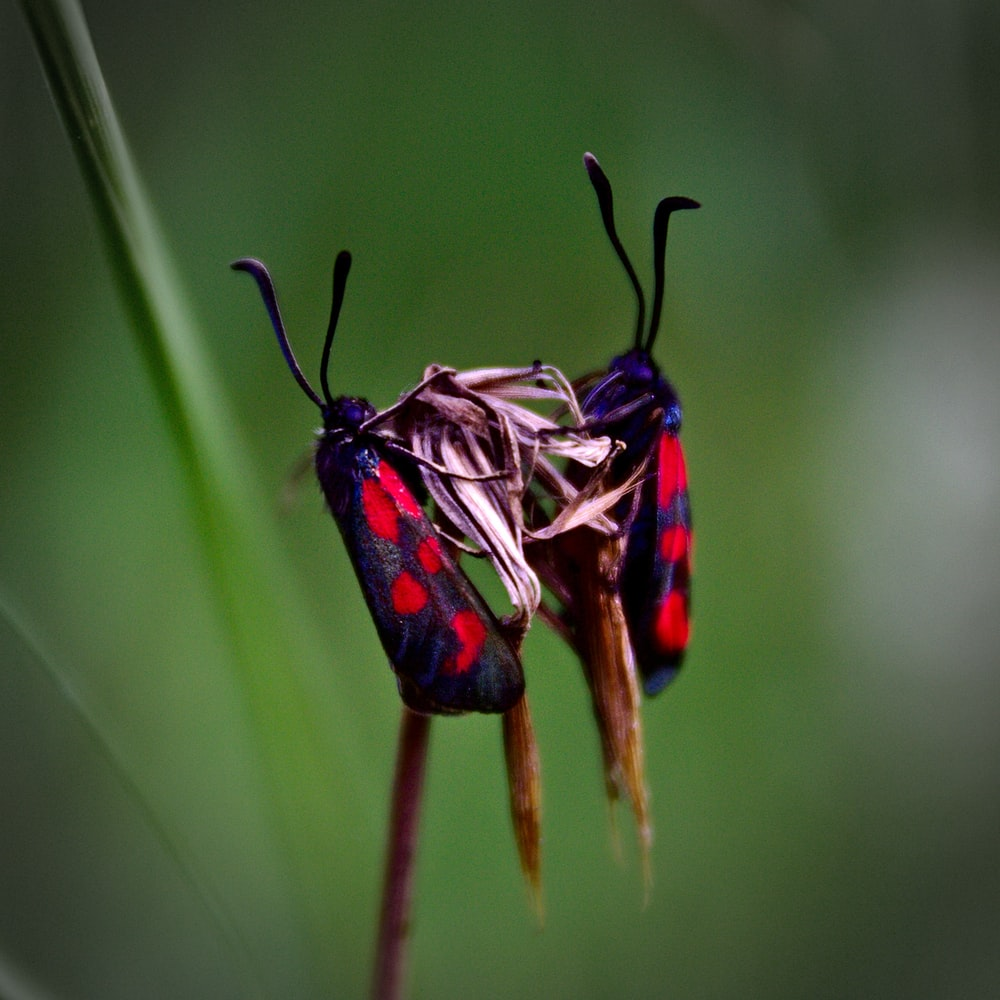 two red-and-black spotted moth in selective-focus photography