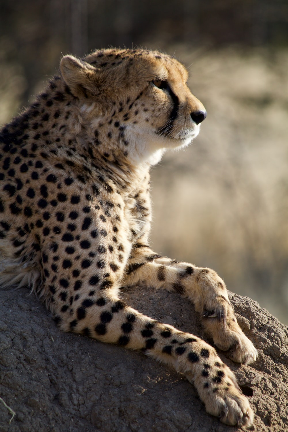 brown cheetah on rock