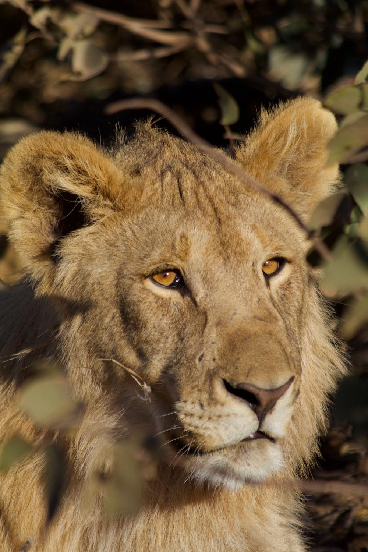 closeup photography of brown tiger