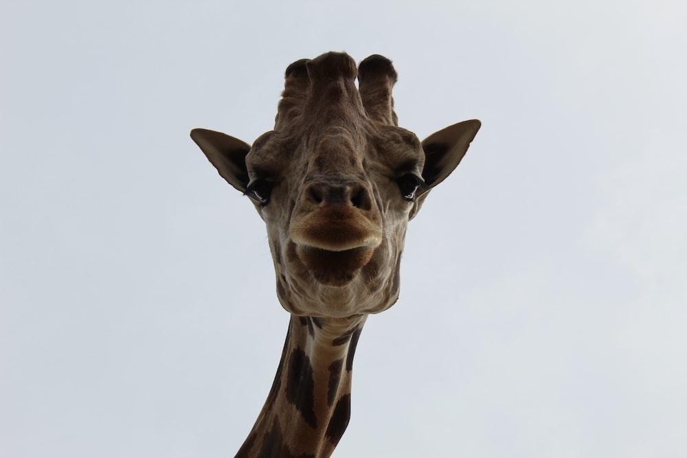 macro photography of giraffe animal