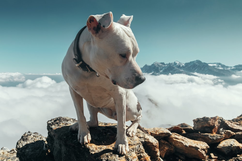 adult white pit bull on rock