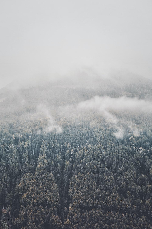 pine foggy trees
