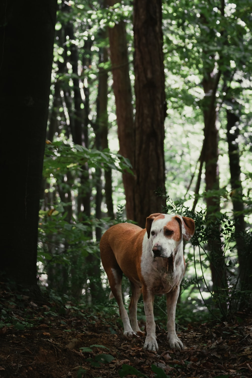 white and brown dog standing in forest