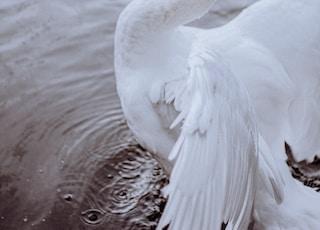 photo of white swan