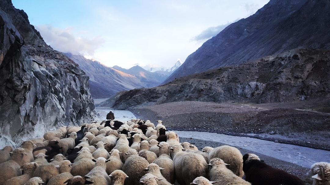 Flock of sheep in Indian Himalayas.