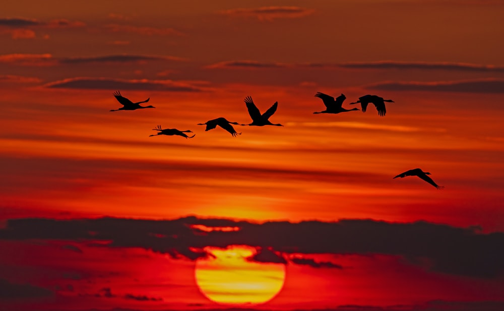 time-lapse photography of flock of birds in flight during golden hour