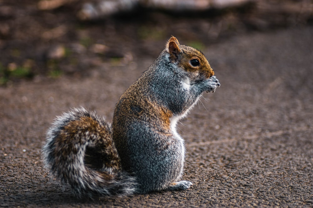 brown and grey squirre;