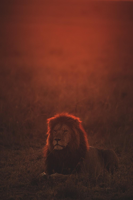 lion on green grass during golden hour
