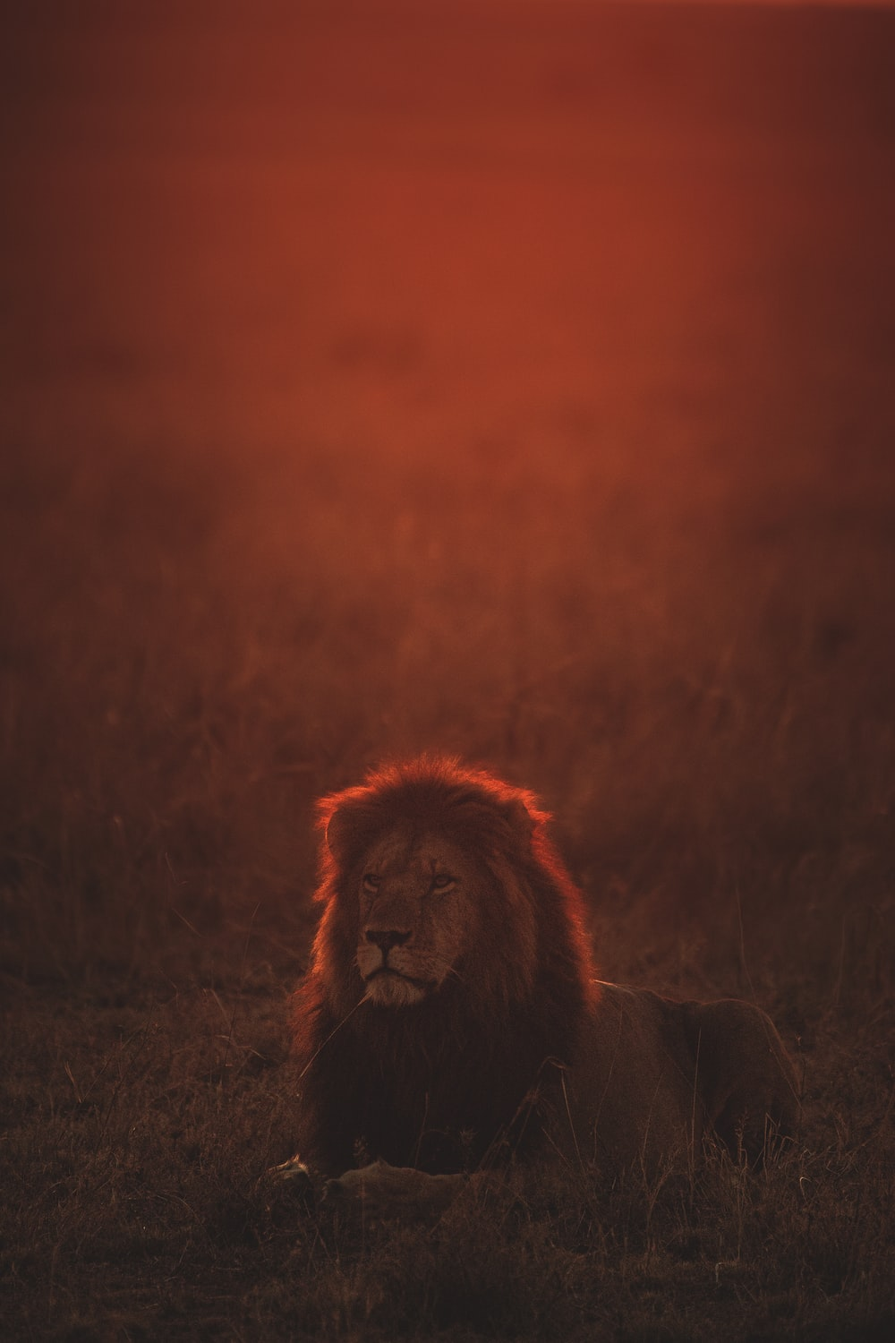lion on green grass during golden hour