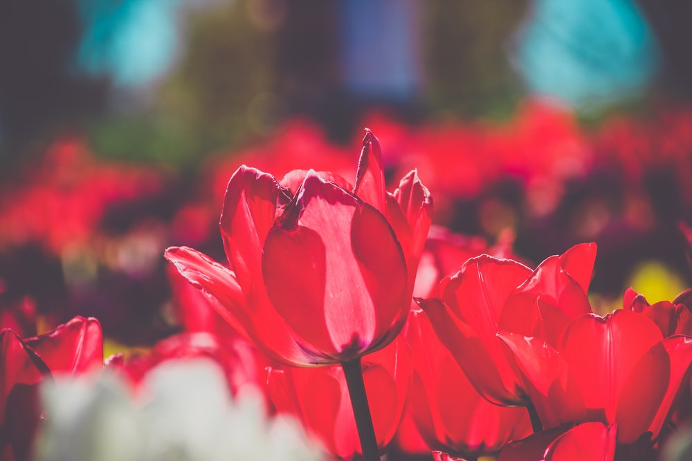 selective focus photo of red tulips