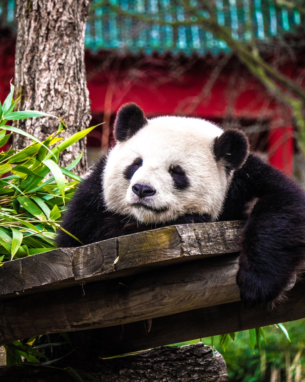 panda bear on gray plank near green plant