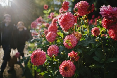 man and woman standing near pink chrysanthemum flowers