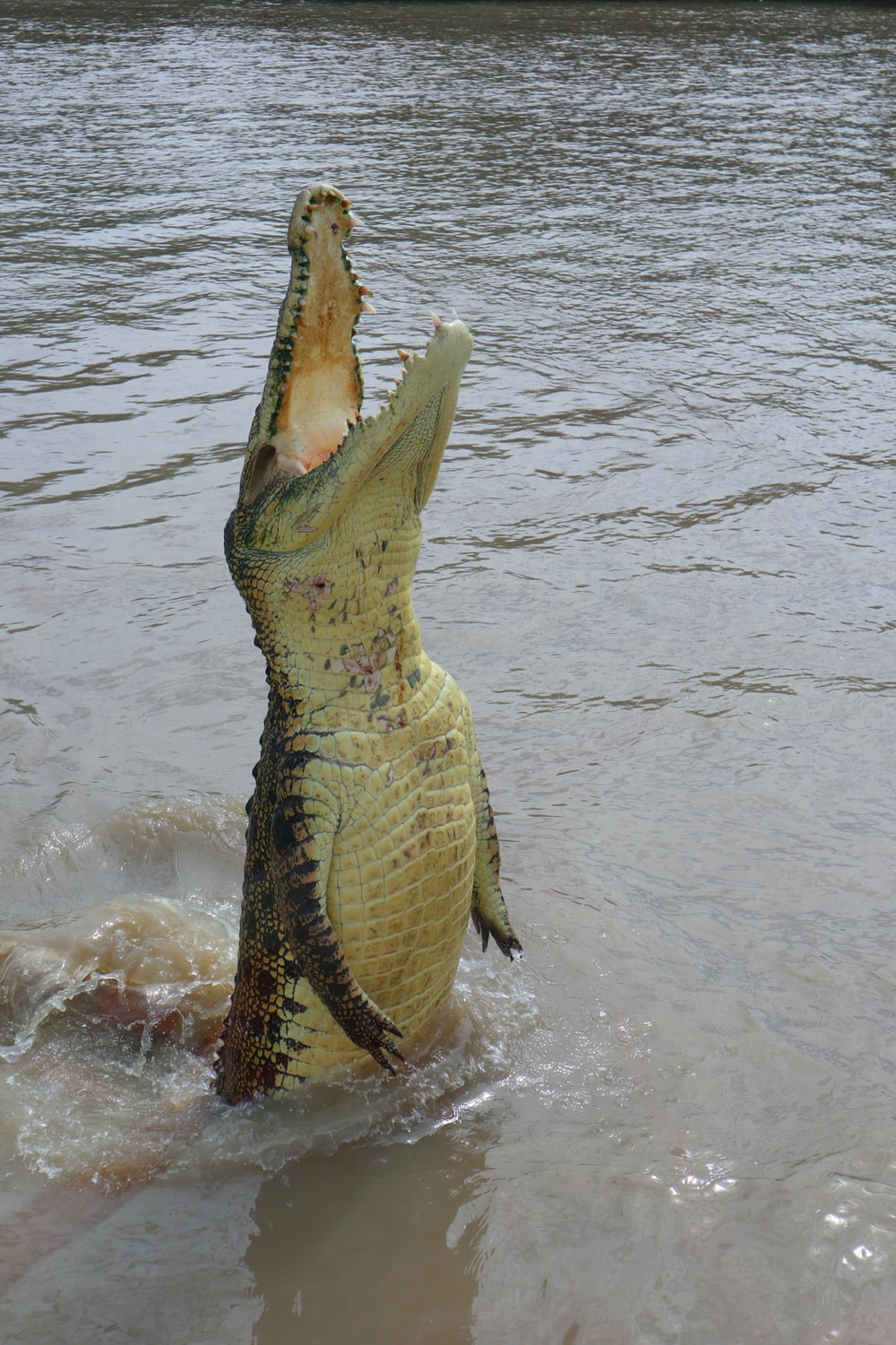 brown alligator on body of water