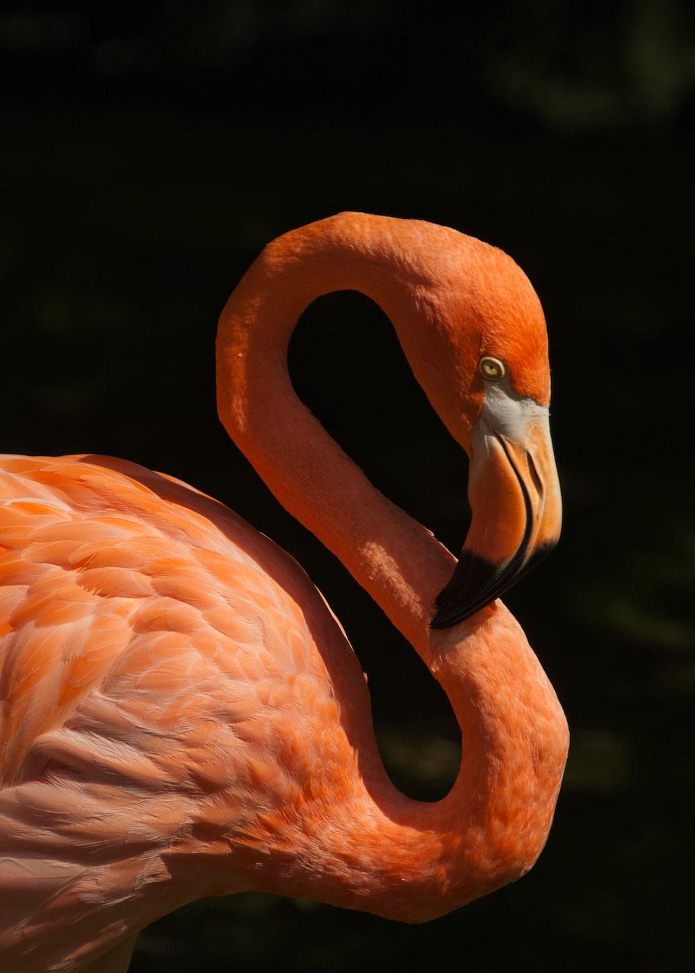 orange flamingo bird