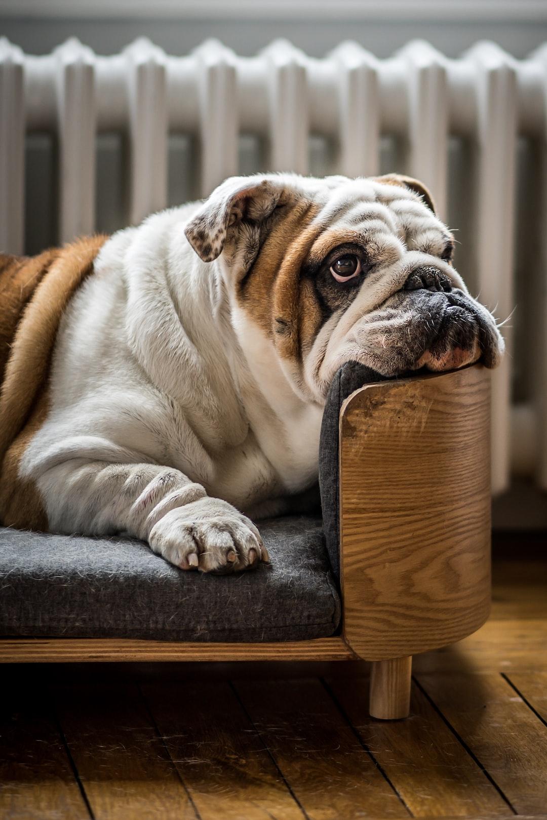 Helmut the english Bulldog