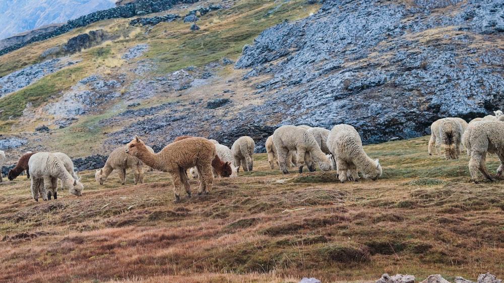 herd of cheep