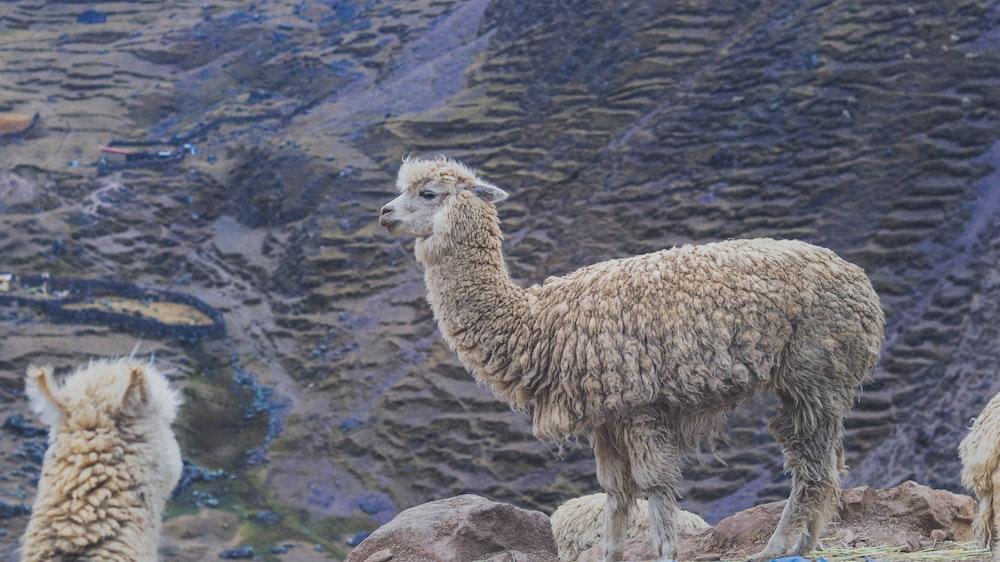 grey llama near body of water