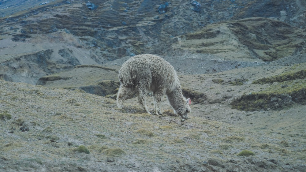 gray llama