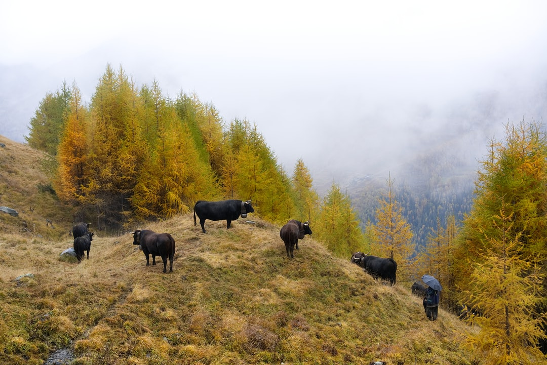 Cows from the highlands of Hérens in a rainy day