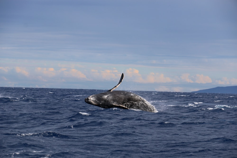 whale in sea