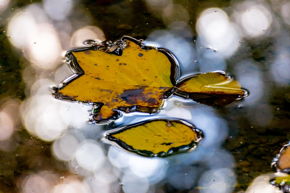 yellow maple leaf on water
