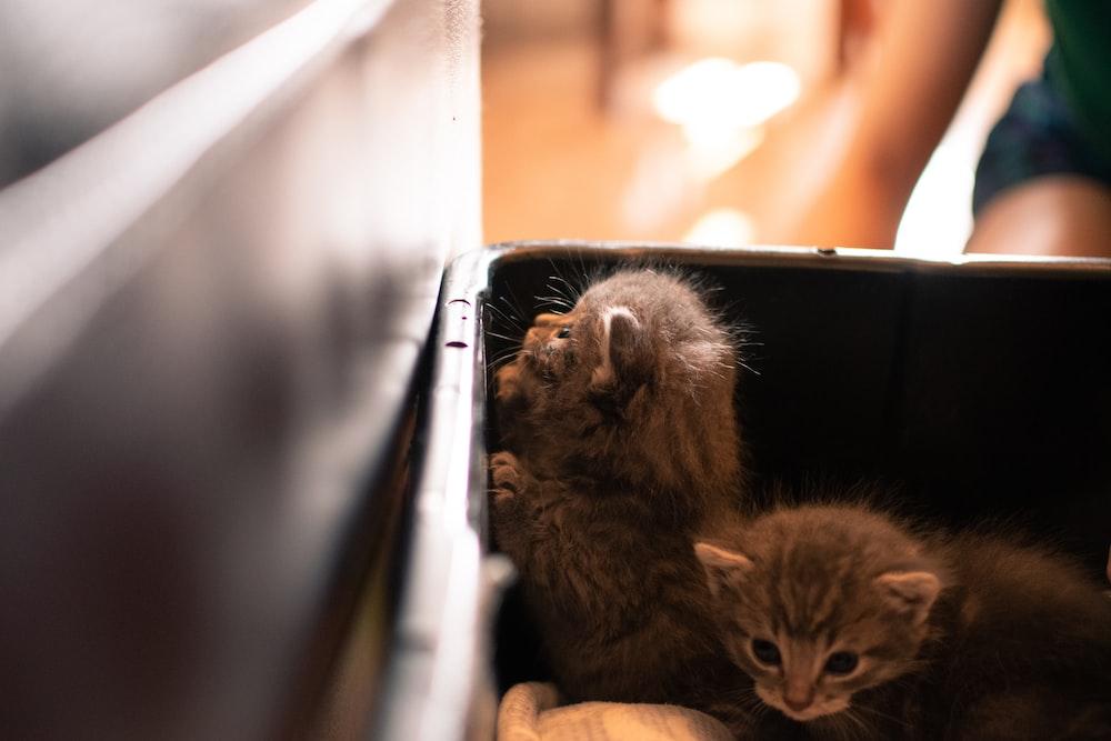 gray coated kitten in black plastic crate