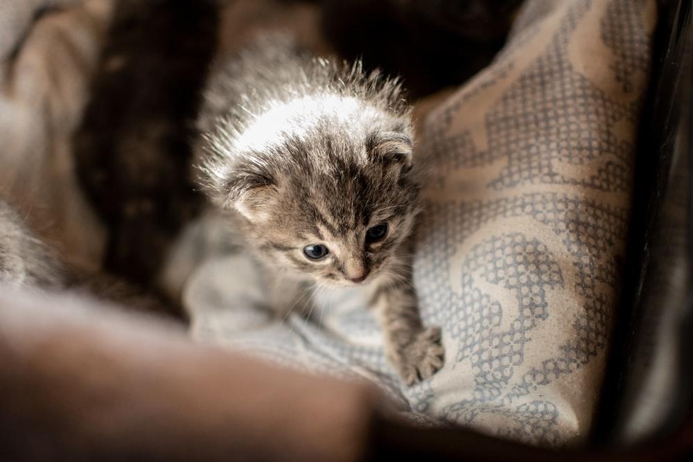 gray tabby kitten