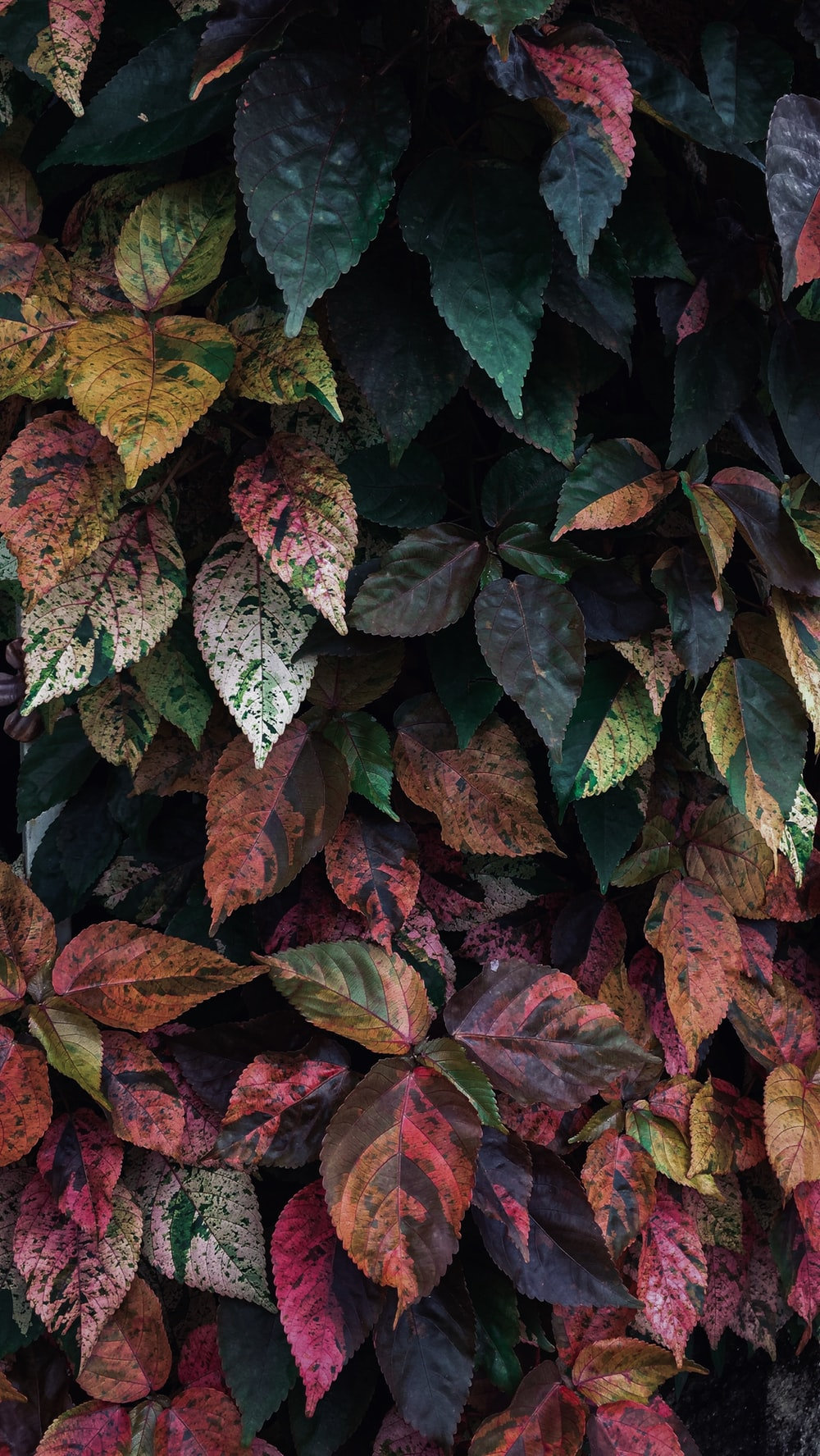 pink, green, and yellow leafed plant