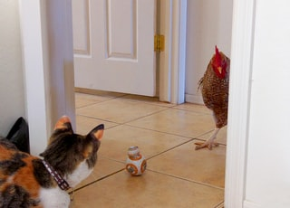 Star Wars BB-8 toy, cat, and chicken on tiled-floor
