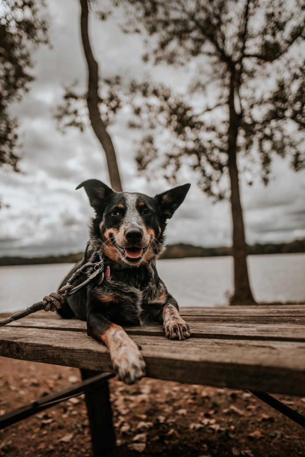 black dog sitting on wooden table
